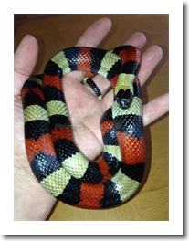 Fundtier Lampropeltis t.campbelli